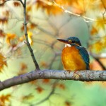 branch bird kingfisher