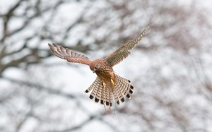 kestrel bird