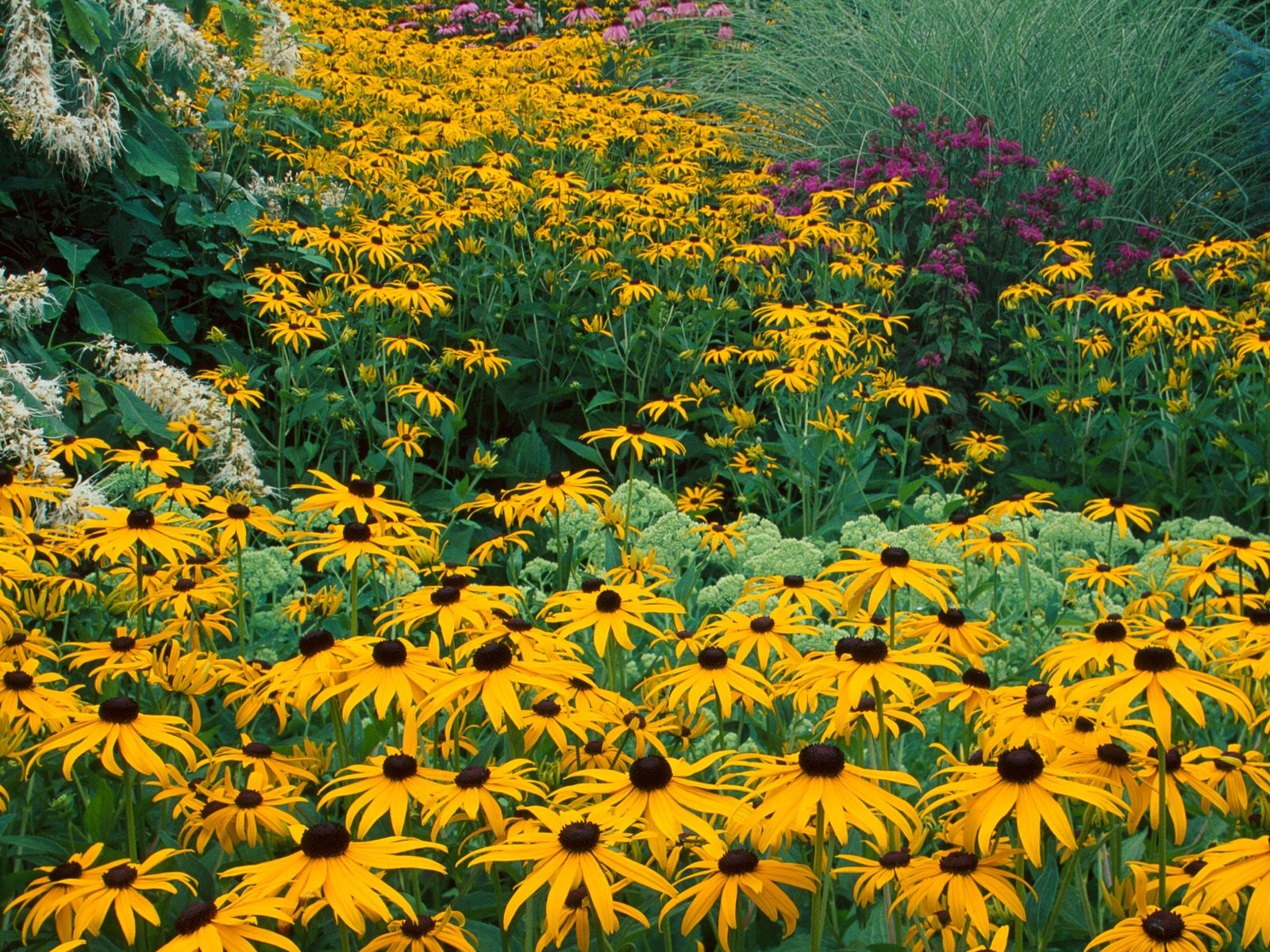 Black-eyed Susans, Holden Arboretum, Ohio