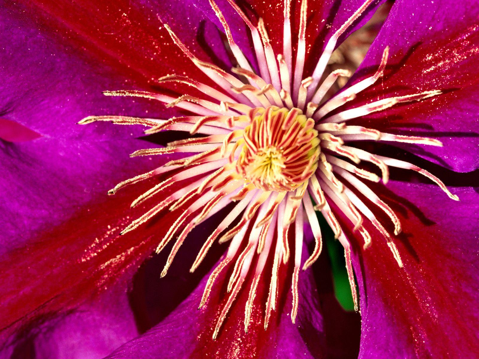 Clematis Flower