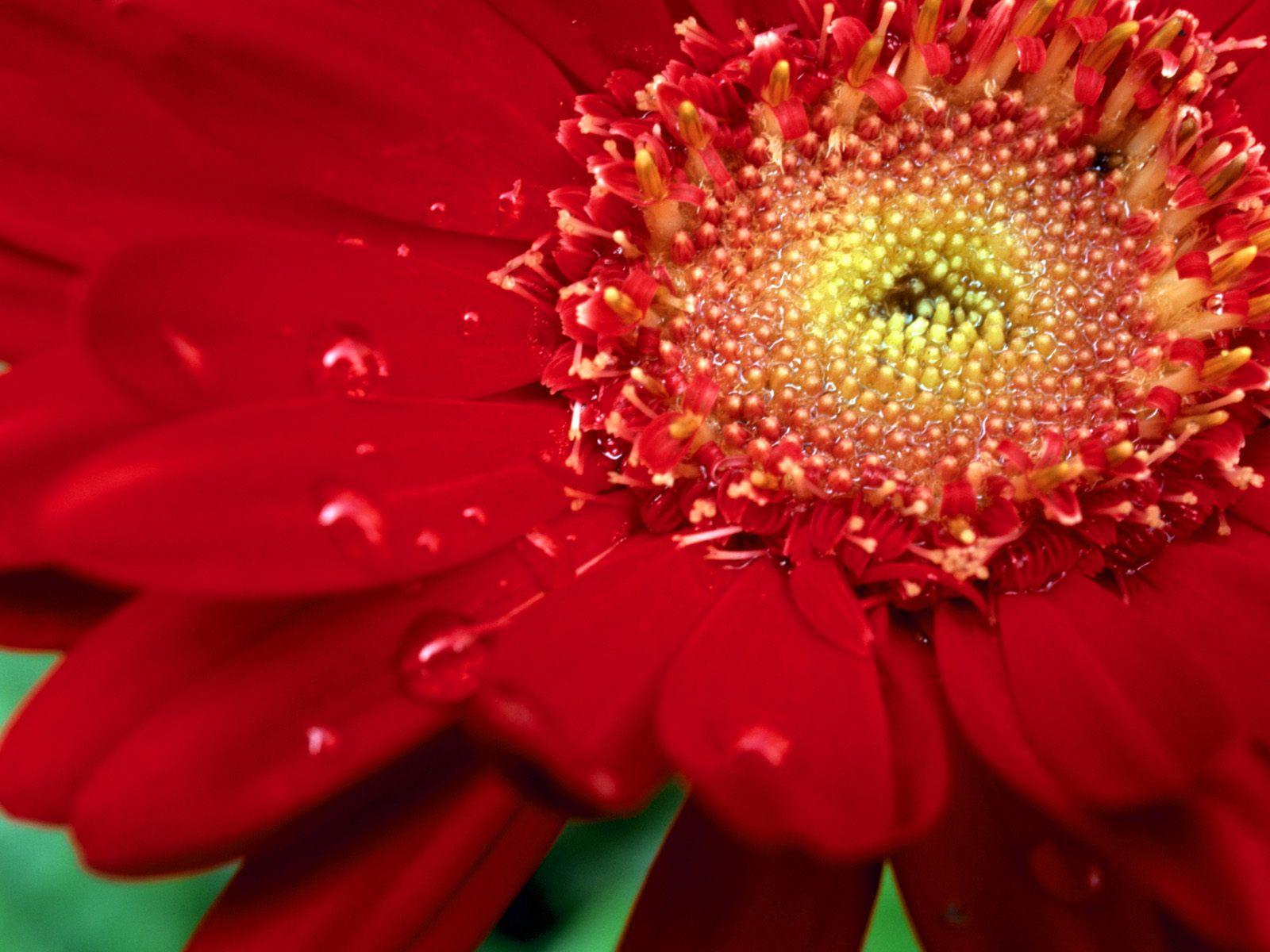 Dew Red, Zinnia