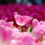 Pink flowers tulips