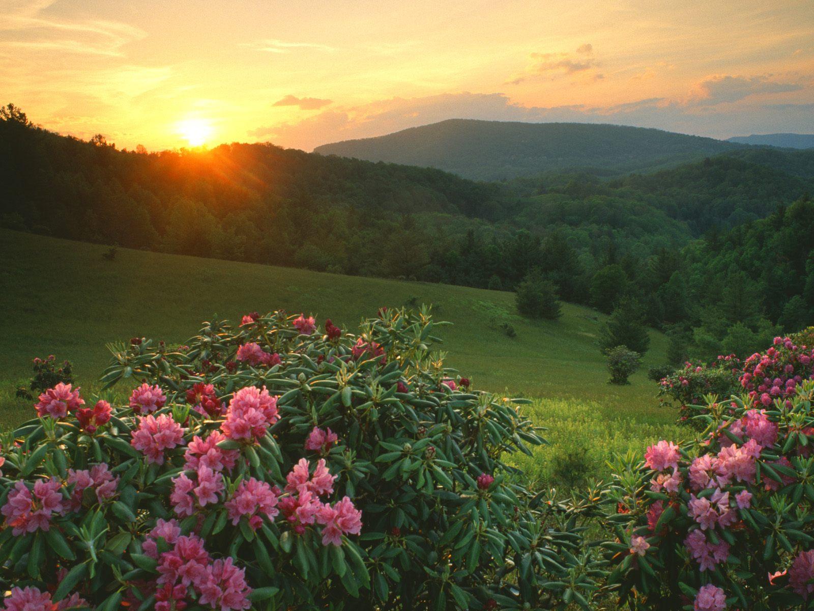 Rhododendrons at Sunrise, Moses H. Cone Memorial Park, North Carolina