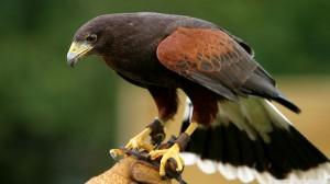 Birds-falcon