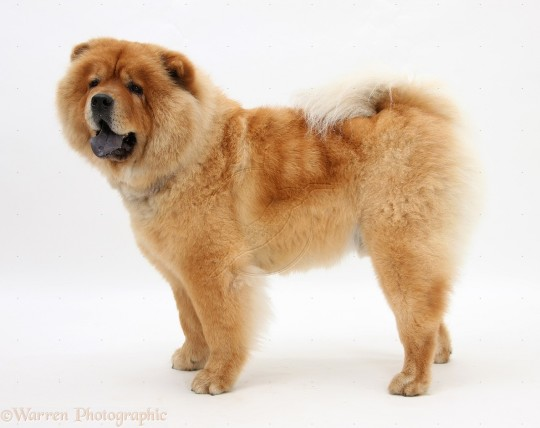 Chow Chow Dog 13 Wallpaper Animal Wallpapers 1920x1080