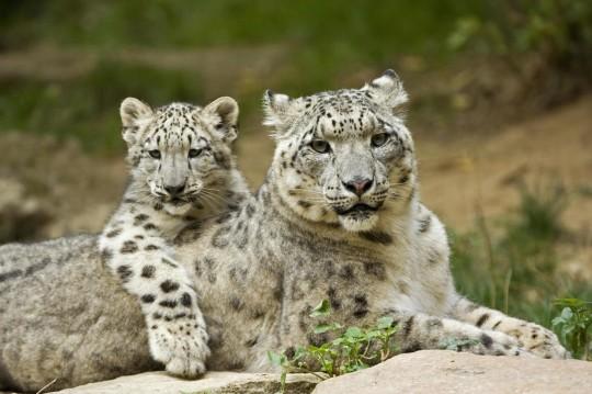 Snow Leopard 25 Wallpaper Animal Wallpapers Free